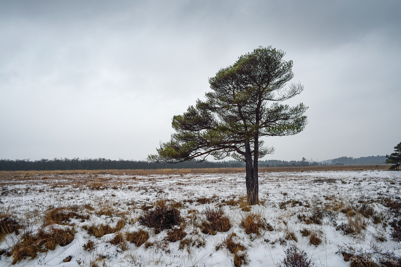 Pleasingly shaped tree in the snowy landscape at Morden Bog. National Nature Reserve.