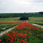 Red Poppy Fields 2018