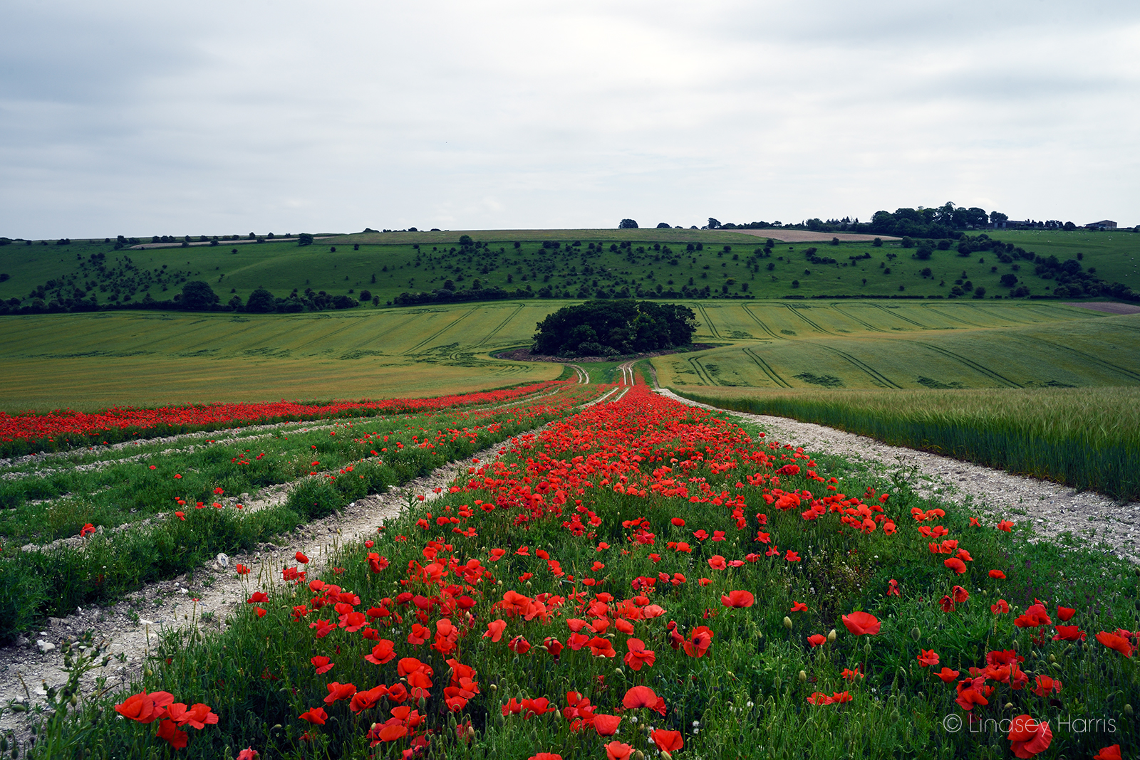 Red poppy fields Berkshire, 2018.