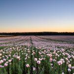 Pink Poppy Fields Dorset, 2018