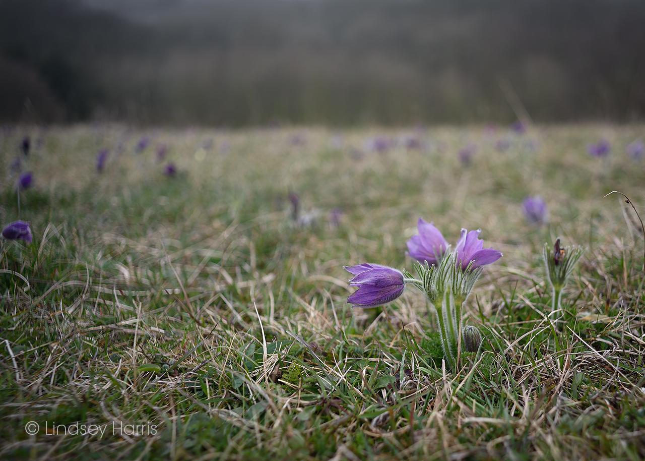 Beautiful pasqueflowers at Therfield Heath, Hertfordshire.
