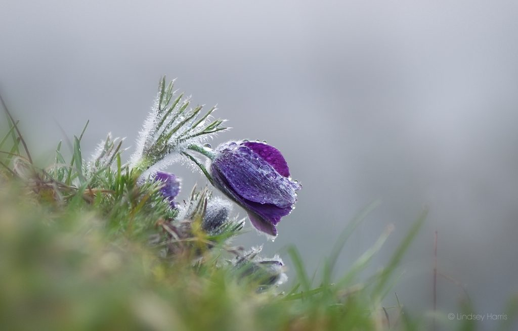 Photograph of pasque flower at Martin Down, Wiltshire.