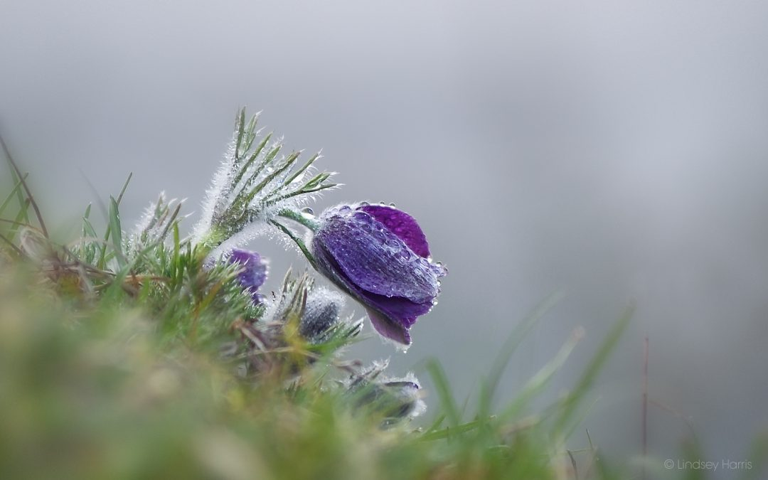 Pasqueflowers at Martin Down, Wiltshire