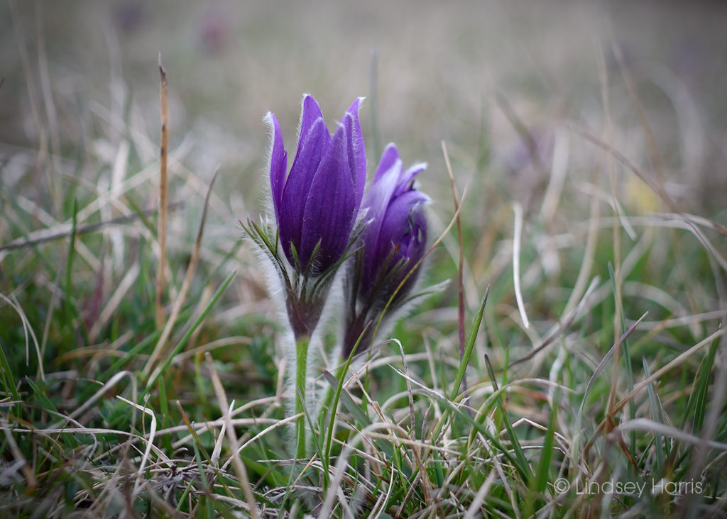 Pasqueflowers growing at Therfield Heath, Hertfordshire.