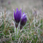 The Pasqueflowers Of Therfield Heath