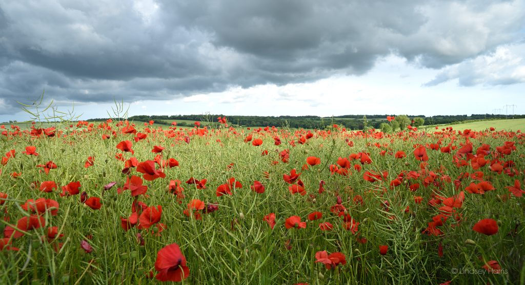 Dorset red poppy field, 2019.