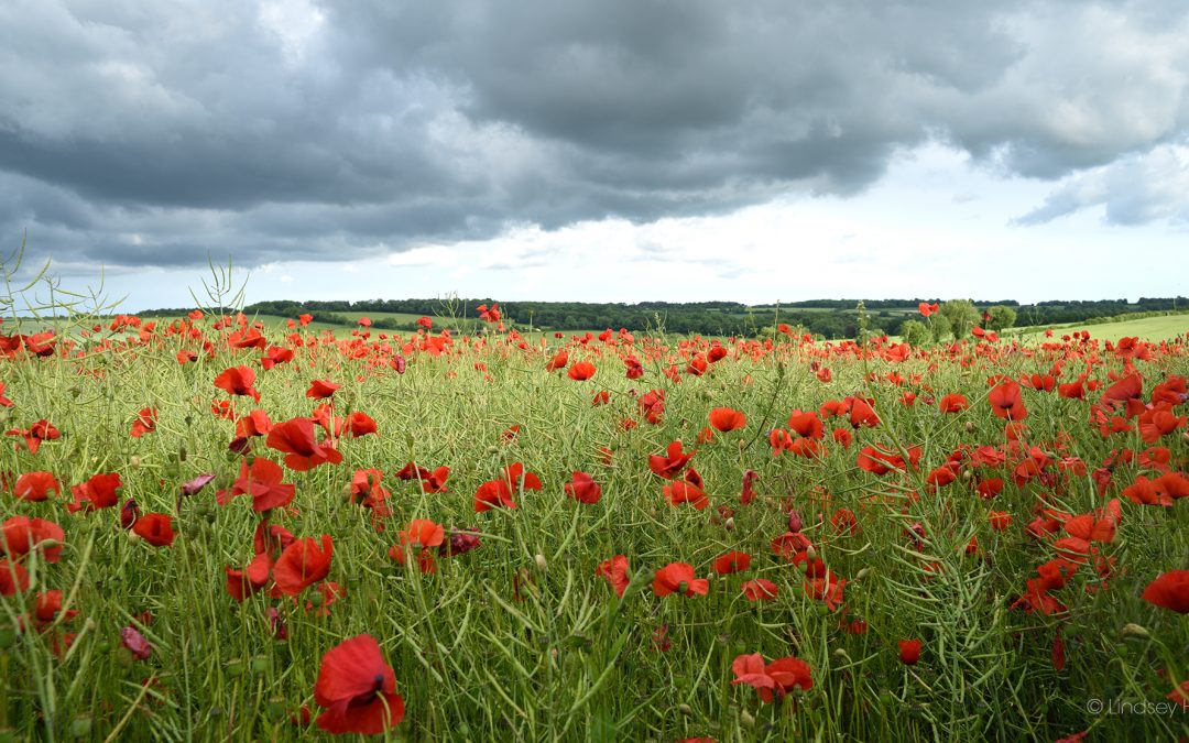 Dorset's Red Poppy Fields, 2019