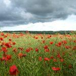 Dorset's Red Poppy Fields, 2019