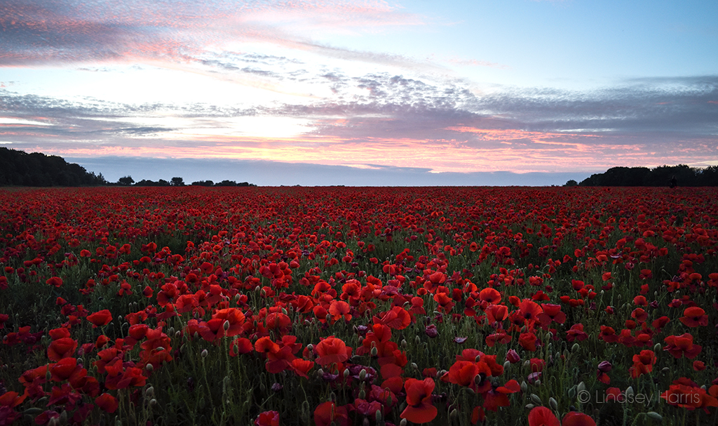 Dorset Red Poppy Field, 2019