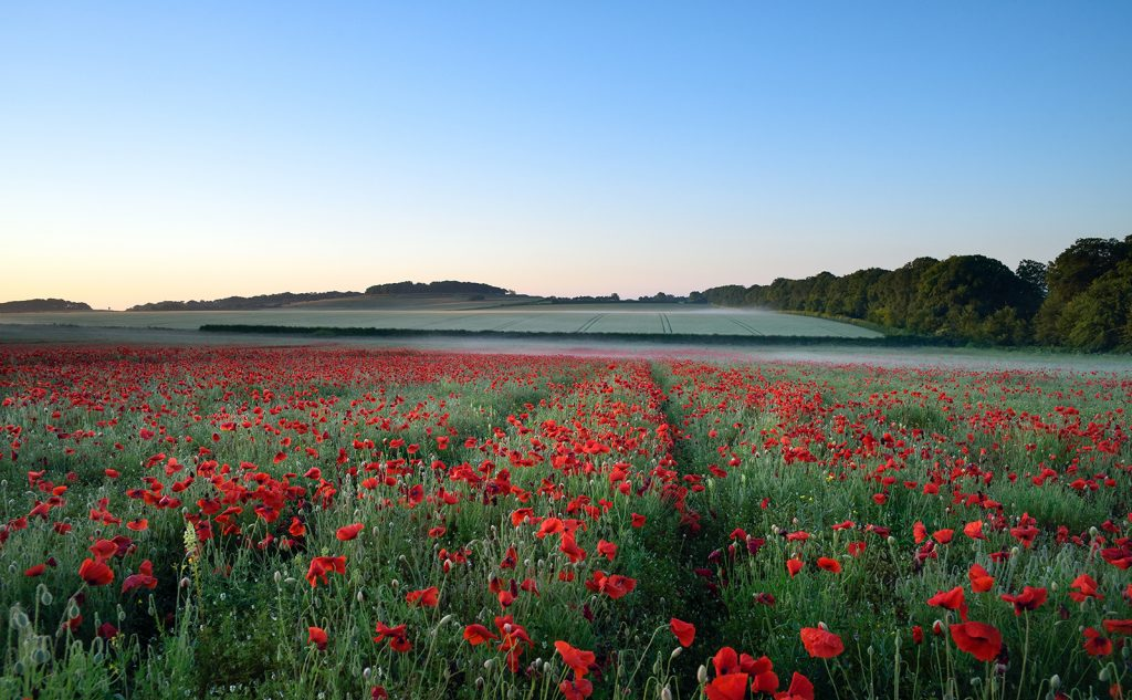 Dorset red poppy field at dawn.