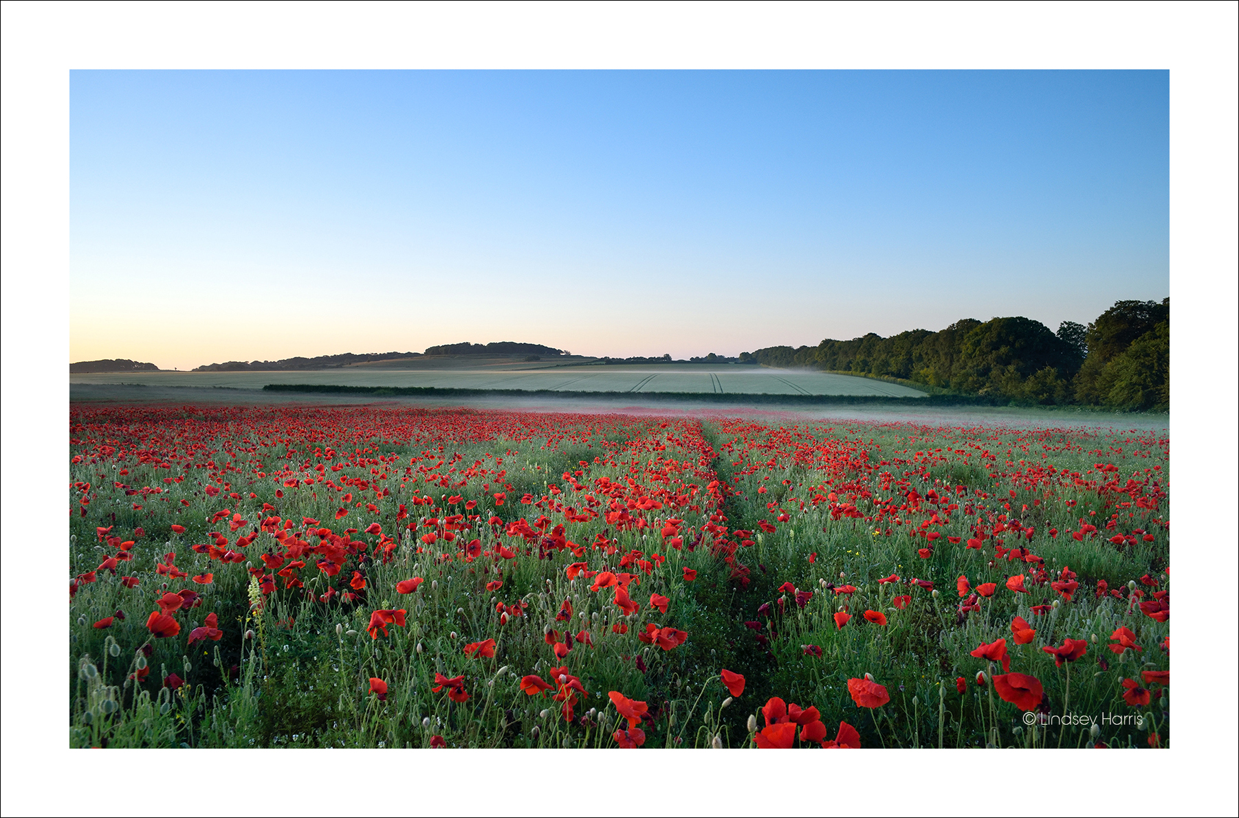 A photo of Dorset red poppies at dawn, by Lindsey Harris.