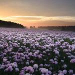 Dorset pink poppy fields 2019 (Solstice poppies)