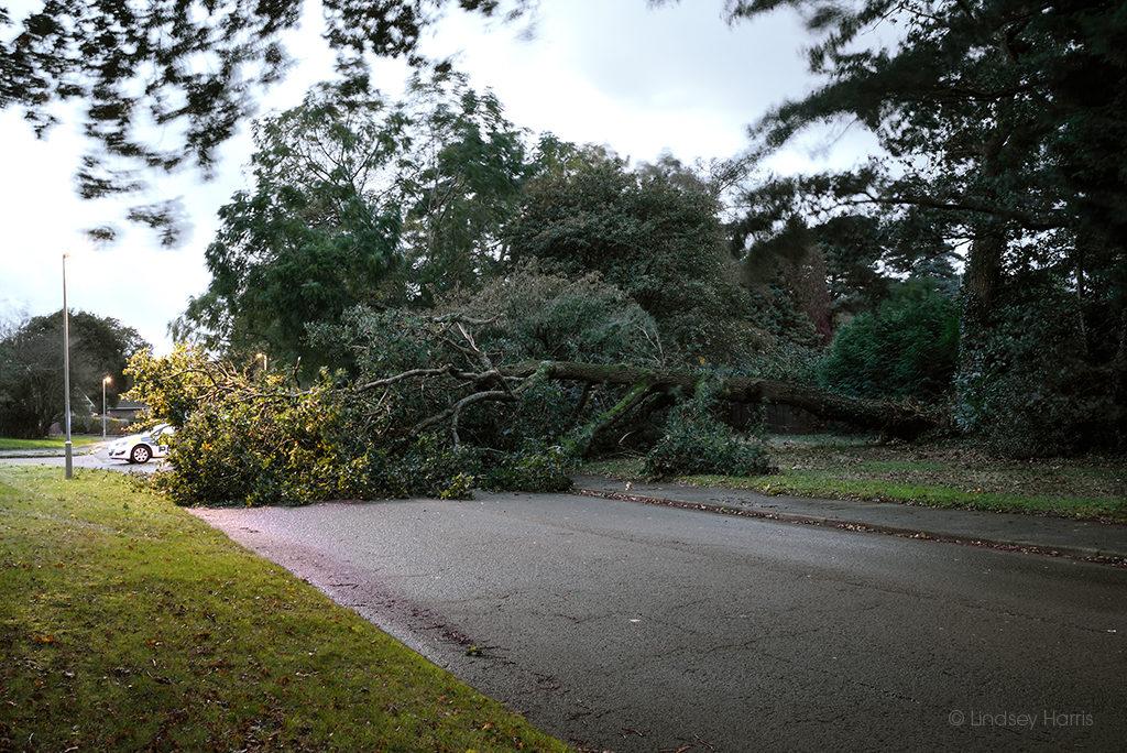 Fallen tree, Broadwater Avenue, Poole.