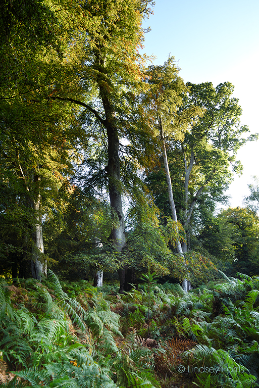 Beech tree at Bolderwood, New Forest, 18/09/19.