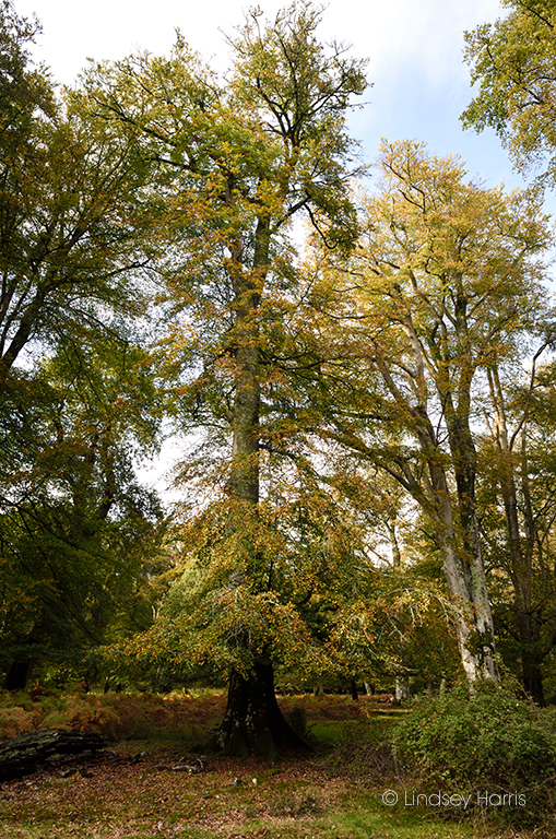 New Forest Autumn 2019. 'My beech tree' at Bolderwood on 16th October.
