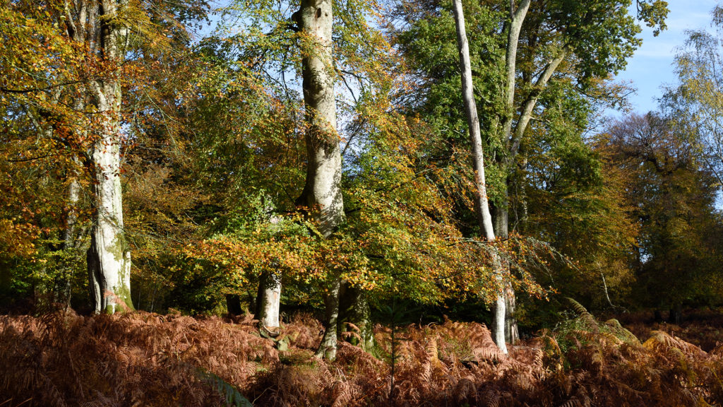 Beech tree - New Forest, 04/11/19.