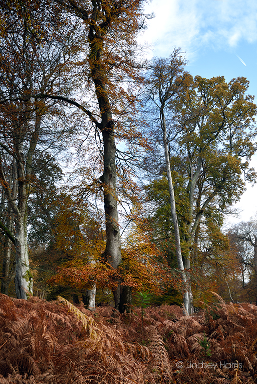 Beech tree at Bolderwood, New Forest, 17/11/19.