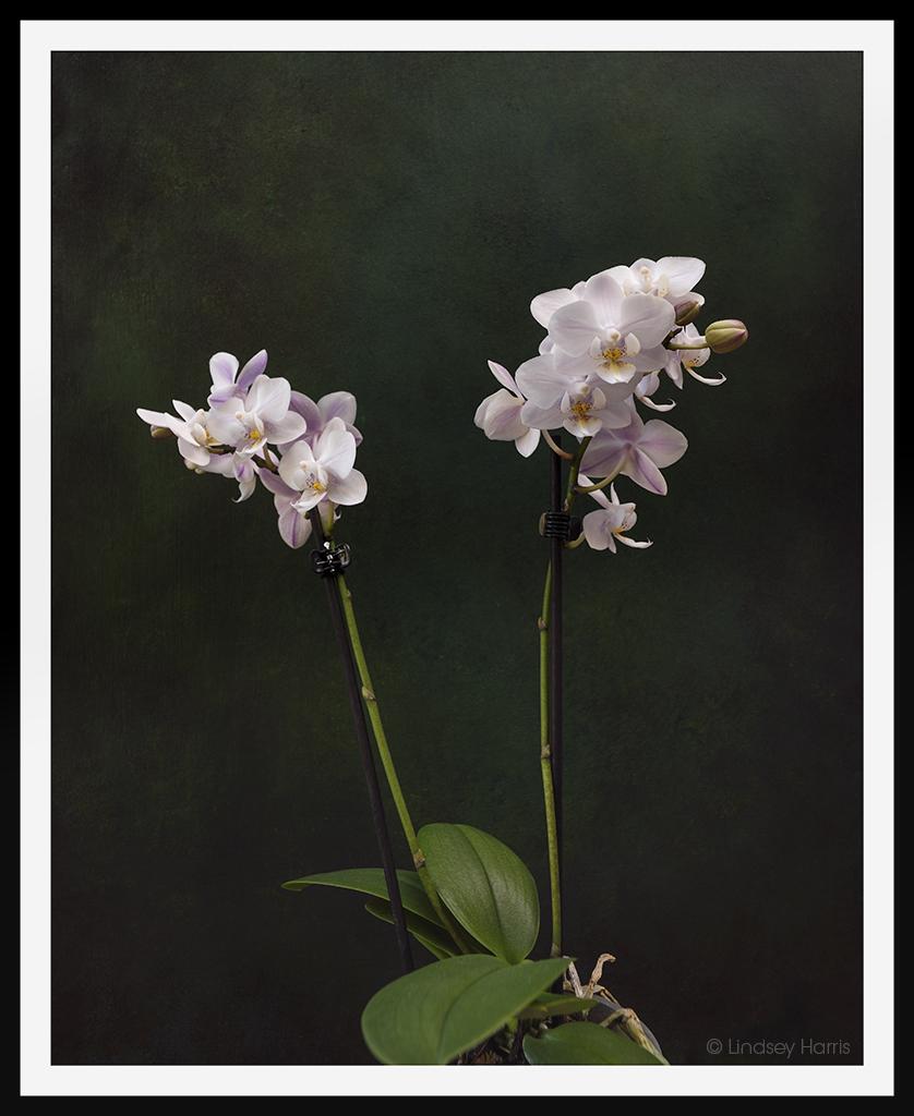 Phalaenopsis (moth orchid).