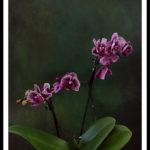 Phalaenopsis (Moth Orchids)
