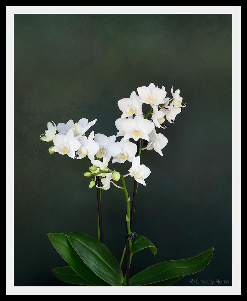 White Phalaenopsis moth orchid.