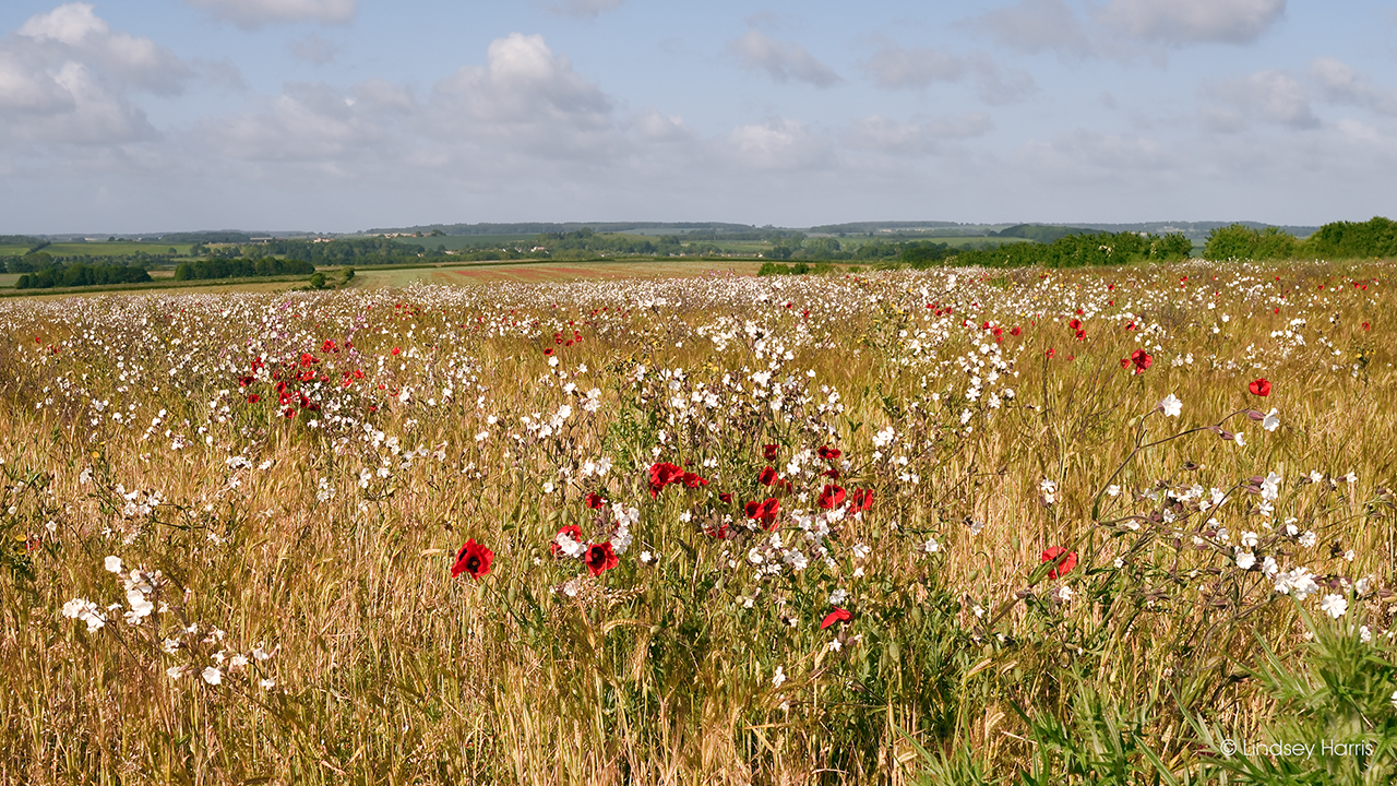 White campion and red poppy fields in Dorset, 2020.