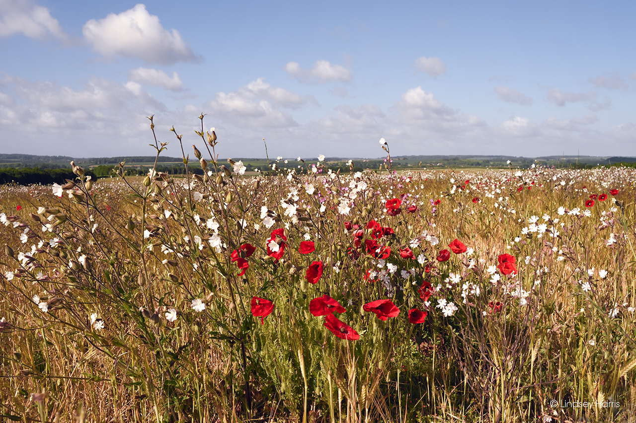 White campion and red poppies in Dorset, 2020.