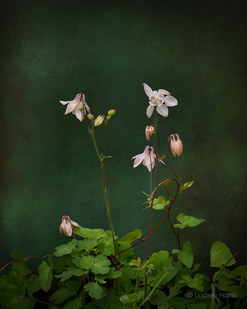 A beautiful, pale pink aquilegia (Columbine).