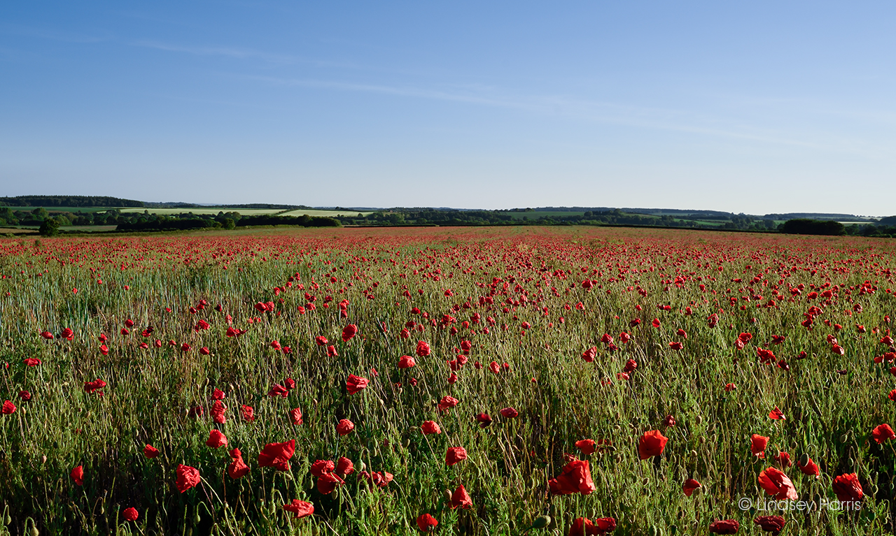 Red poppies in Dorset, 2020.