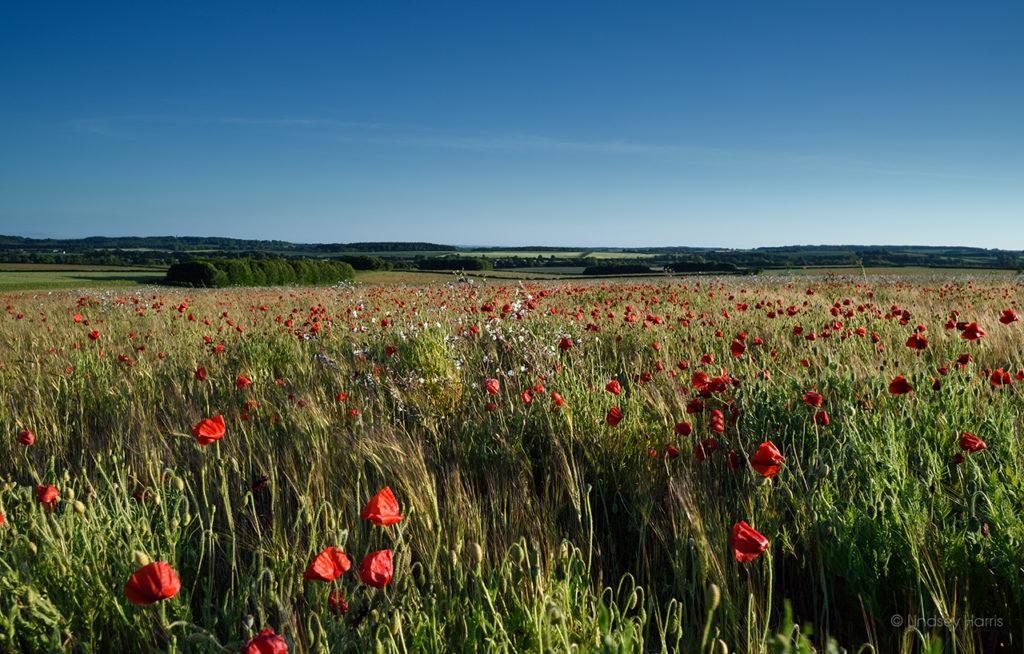 Dorset Red Poppies, 2020