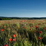 Dorset Red Poppies