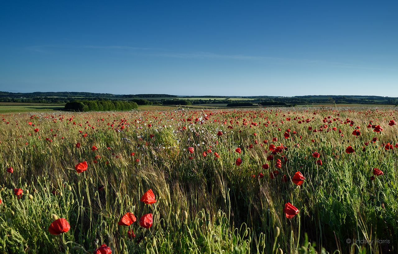 Dorset Red Poppies, May 2020.