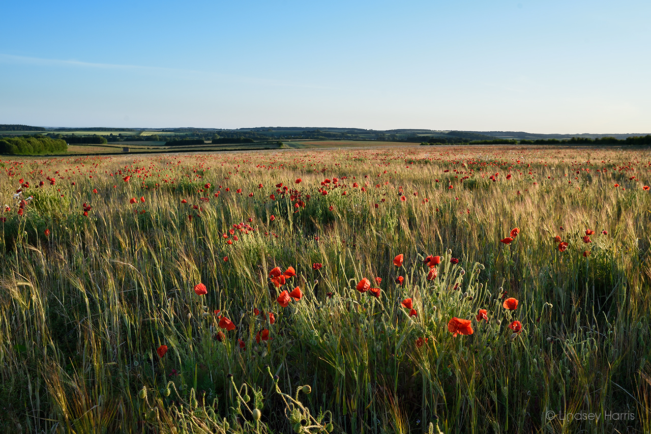 Red poppies (Papaver rhoeas) in a Dorset field, 2020.