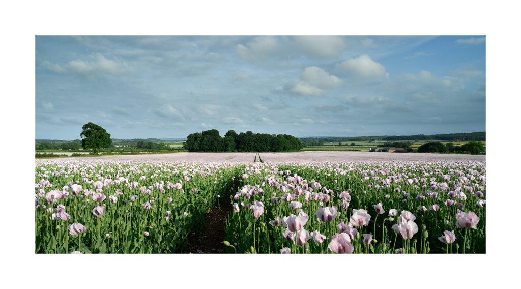 2020 pink poppy fields Dorset.