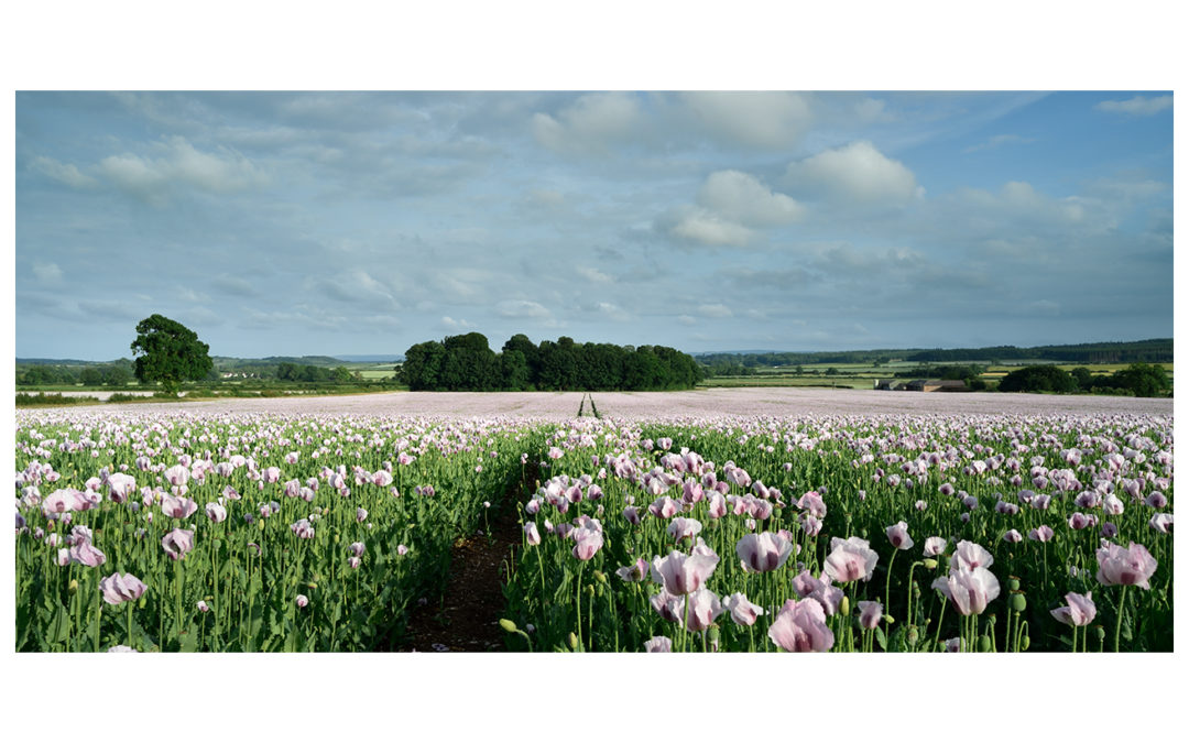 Pink Opium Poppy Fields Dorset 2020