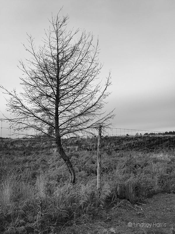 The fir tree after the Wareham Forest fire.