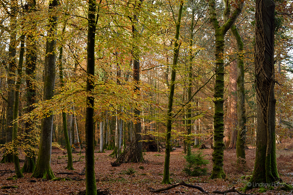 Autumnal beech trees at Blackwater Arboretum, Rhinefield Ornamental Drive, New Forest.