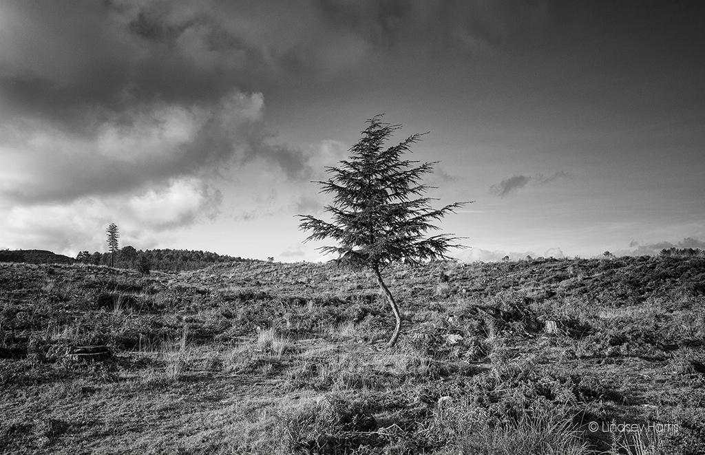 The Fir Tree, Wareham Forest, Dorset.