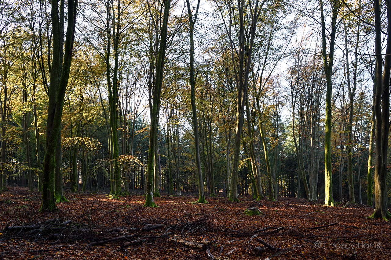Beech trees at Broomy Inclosure, Linwood, Hampshire.