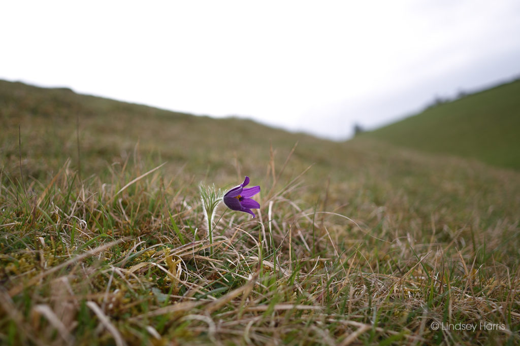 A single pasqueflower blooming at Barnsley Warren Nature Reserve, Gloucestershire