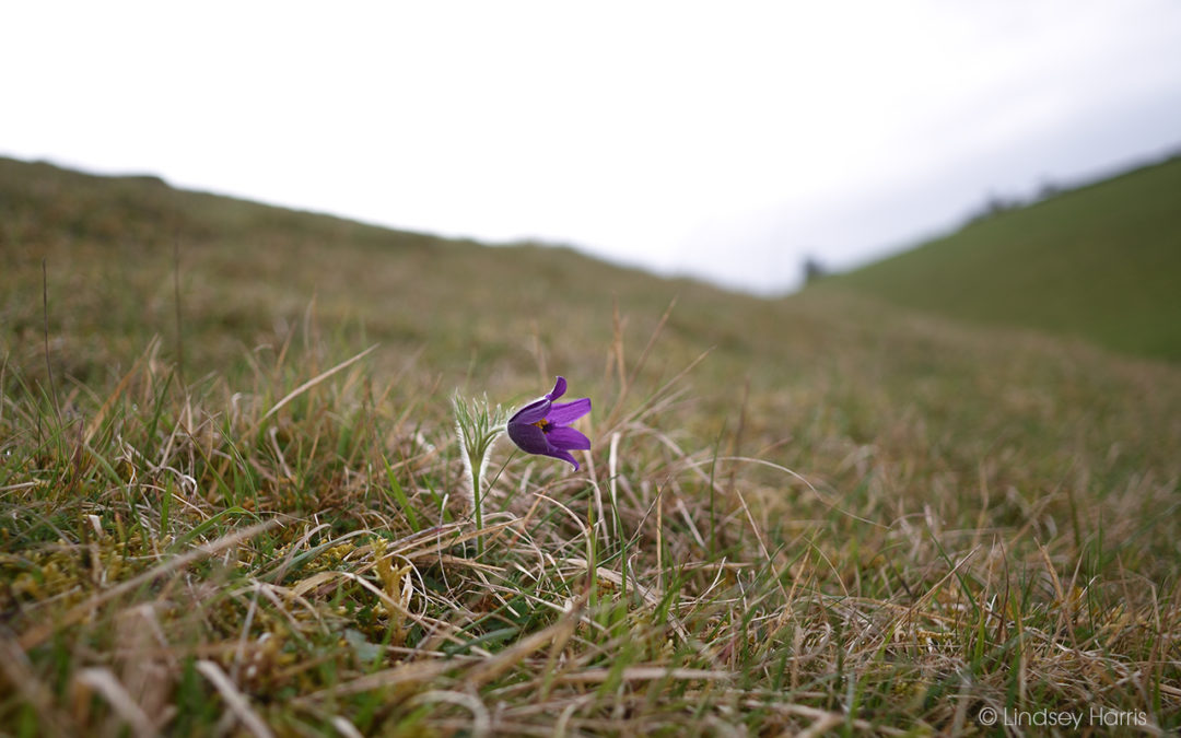 Pasqueflowers At Barnsley Warren, 2021