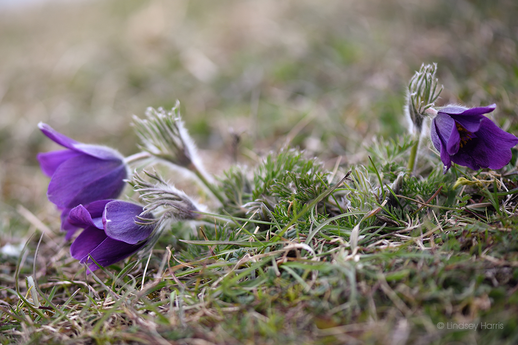Pasqueflower plant (Pulsatilla vulgaris) at Martin Down, on the Hampshire/Dorset border. Photo taken April 2021.