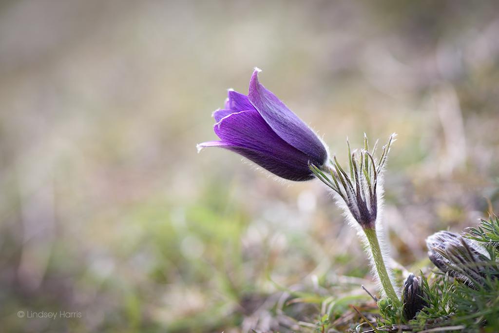 A beautiful pasqueflower (Pulsatilla vulgaris) at Martin Down, on the Hampshire/Dorset border. Photo taken April 2021.