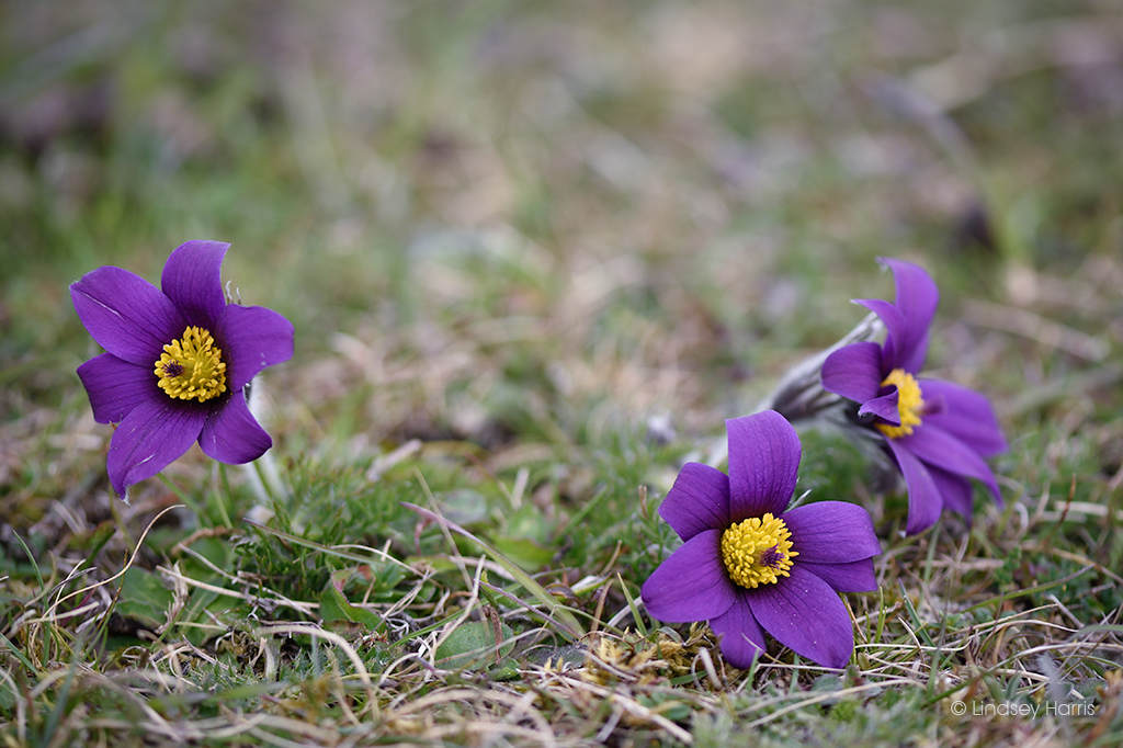 Pasqueflowers growing at Martin Down. Photo taken April 2021.