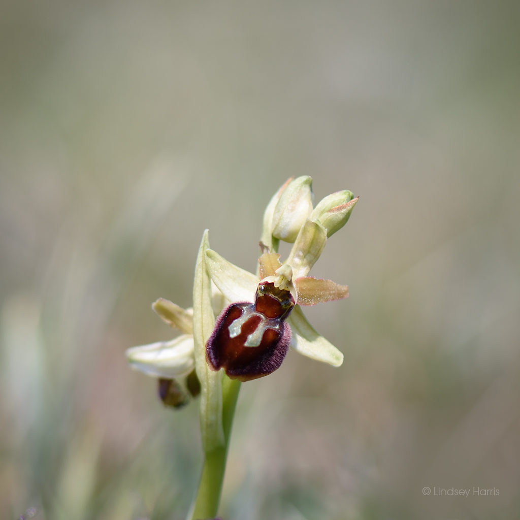 Early spider-orchid [Ophrys sphegodes]. Growing in Dorset.