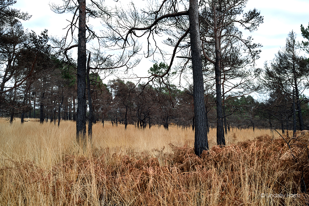 Charred tree trunks 6 months after the Wareham Forest fire of May 2020.