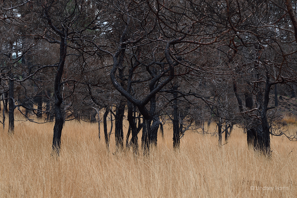 The blackened and charred remains of trees look like animals in a wilderness.