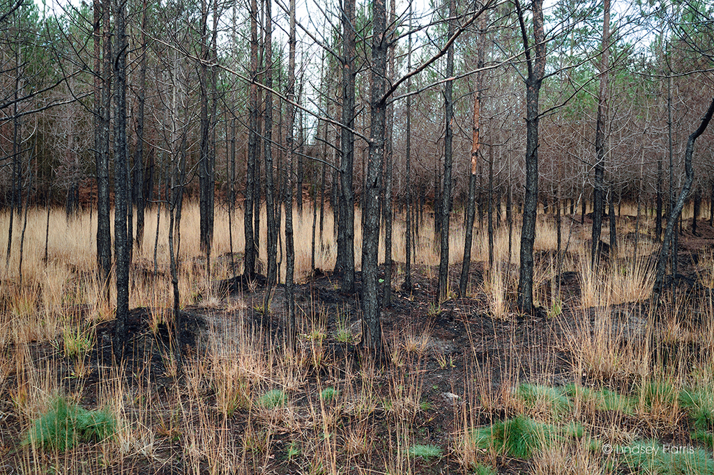Wareham Forest  - the charred remains of fir trees 6 months after the May 2020 forest fire.
