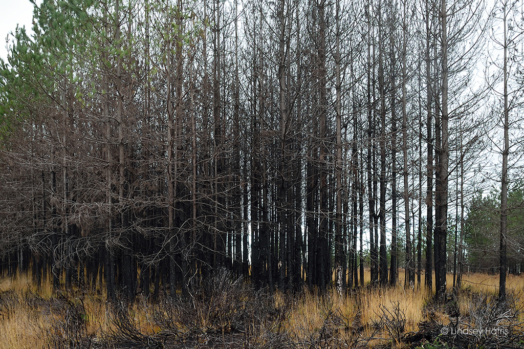 Blackened trees 6 months after the May 2020 Wareham Forest fire.