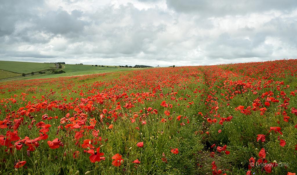 Red Poppy Fields Dorset 2021
