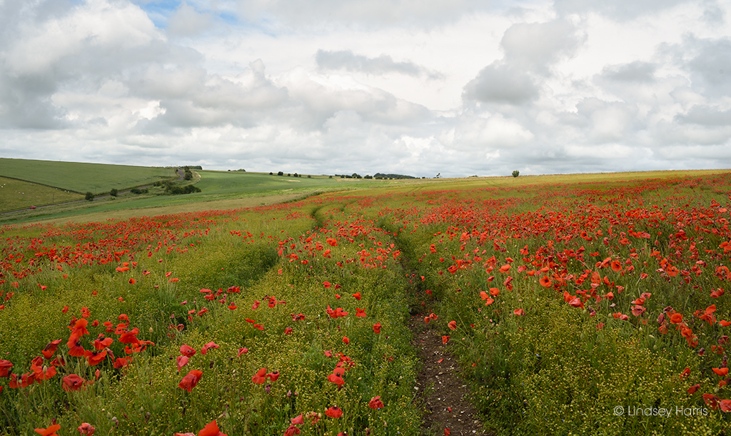 Field of red poppies Wiltshire.